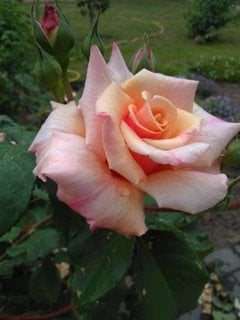 Rose mit etwas Morgentau