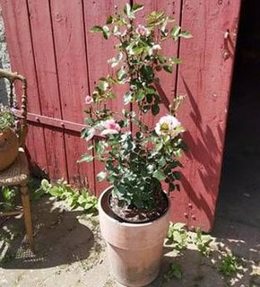 Eine blühende Rose im Topf vor einer roten Holztür