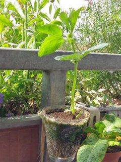 Saubohnenpflanze von Kassandra Ruhm